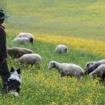 Draußen bei den Schafen